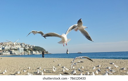 Seagulls are flying at haeundae beach busan.