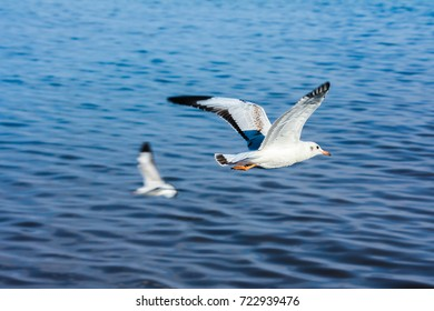 Seagulls flying on blue sea background.