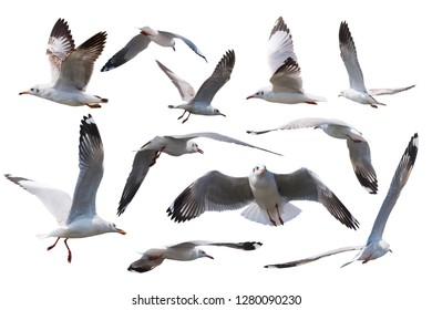 Seagulls flying style Isolated on white background.Set of seagulls isolated on white background.clipping paths