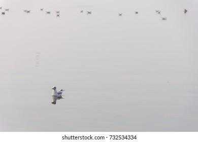 Seagulls in fog on Lake Steinhude