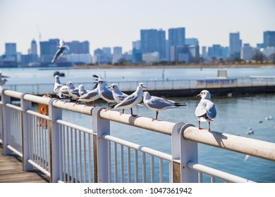 Seagulls are gathering in the bay area of Odaiba in Tokyo.