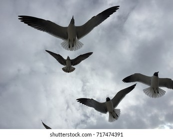 Seagulls at the Gulf shores of Mississippi