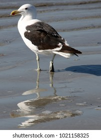 Seagull's image mirrored on the freshly dampened shoreline.