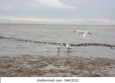 seagulls on mudflat at the german north sea coast under cloudy sky