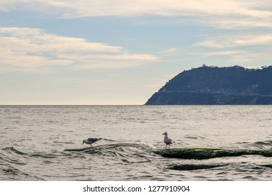 Seagulls on rocks surrounded by waves with the cape of Capo Mele in the background, Alassio, Liguria, Italy