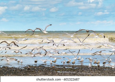 Seagulls on the seacoast of the North Sea, in Belgium