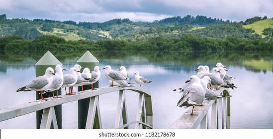 Seagulls on stainless steel railings at Horeke on Hokianga Harbour, west coast, Far North District, Northland, New Zealand, NZ