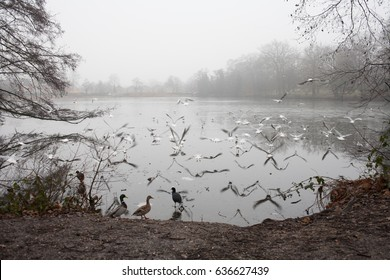 Seagulls and other birds fly over Whiteknights Lake in Reading, UK.