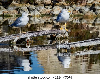 Seagulls perched on some timbers, in the salt pans of Santa Pola, next to the tower of Tamarit