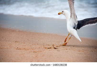 Seagulls prey on crabs on the shores of the Atlantic Ocean. Portugal.  Wildlife birds.  The struggle for survival. Seagulls eat crab and sprat.