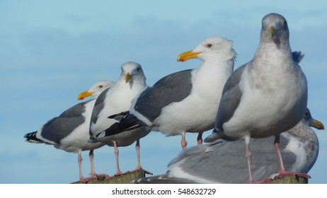 Seagulls at rest