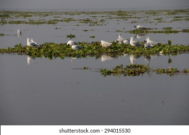Seagulls rest on floating water hyacinth,  Inle Lake,  Myanmar (Burma)