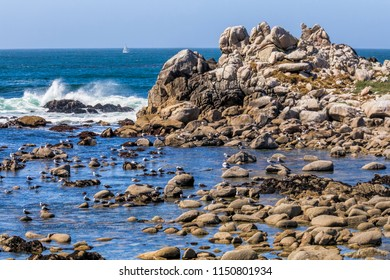 Seagulls rest on rocks surrounded by tide pools as ocean waves crash and a sailboat is seen in the background on the coast of Pacific Grove, California.