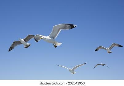 Seagulls. Sea of Marmara, Adalar