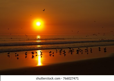 Seagulls set down and playing at the beach water line before a strong orange sunset, ocean waves and other birds flying. Costa da Caparica, Lisboa, Portugal.