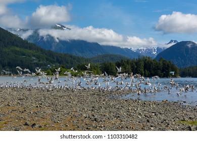 Seagulls, Sitka, Alaska