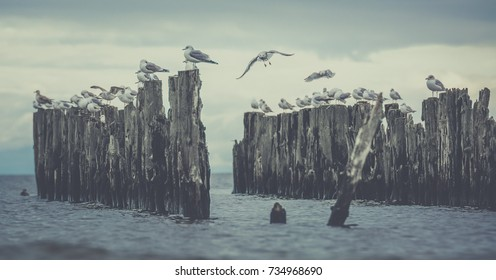 Seagulls sitting on an old dock poles. Still sea water with rocky beach.Tranquility surrounding the wildlife.