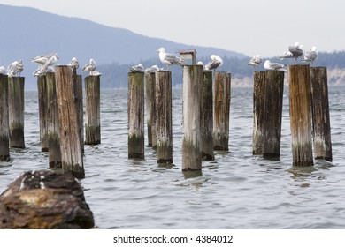 Seagulls sitting on the remains of pier posts in the Pacific Ocean near Seattle Washington