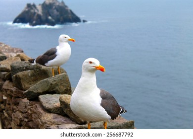 seagulls at the skelligs