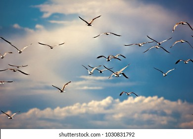 Seagulls in sky, summer light clouds. Herring gulls