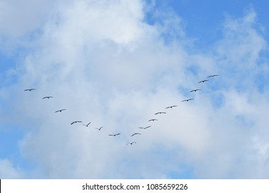 Seagulls in a V Formation (Miami Florida)