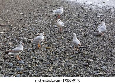seagulls wallking on the seashore