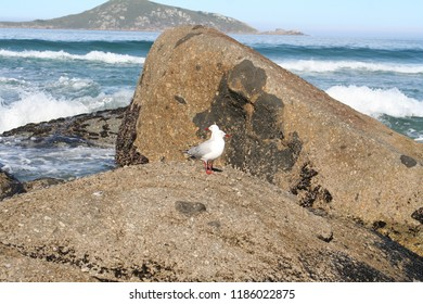seagulls at whisky bay, wilsons promontory national park, victoria, australia