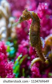 Seahorse in colorful salt water marine aquarium