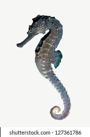 Seahorse isolated on white Background