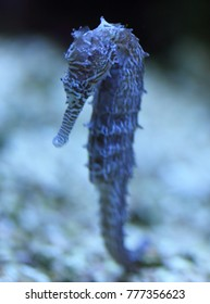 "Seahorse is the name given to 54 species of small marine fishes in the genus Hippocampus. ""Hippocampus"" comes from the Ancient Greek word hippos  meaning ""horse"" and kampos  meaning ""sea monster"""