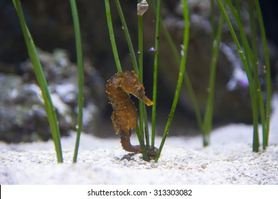 Seahorse swimming in aquarium on white sand