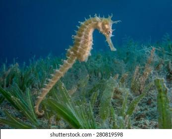 Seahorse Swimming over sea grass