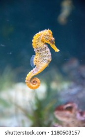 Seahorse in water