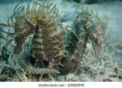 Seahorses in the wild