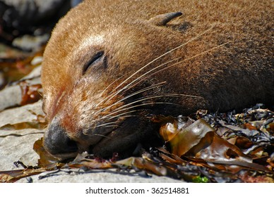 Seal (Arctocephalus forsteri) lying on the coast of Kaikoura, South Island, New Zealand