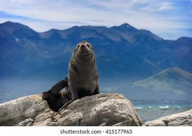 A seal basks at the sun in front of Pacific ocean. Kaikoura, South Island, New Zealand