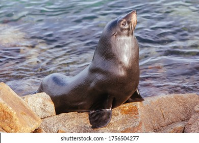 A seal basks in the sun in Narooma, New South Wales, Australia