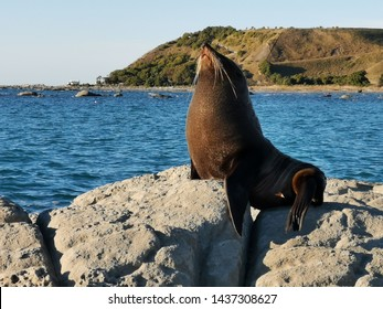 Seal being photogenic in Kaikoura, New Zealand