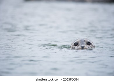 Seal bobbing out of the water