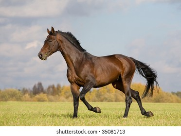 Seal brown Budenny horse trot in field
