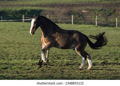 A seal brown cob cantering in a field