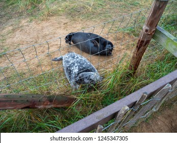 Seal by The Fence. Donna Nook Grey Seal Colony,  Lincolnshire.
