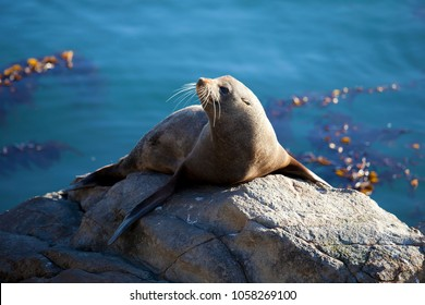 A seal catches the last of the afternoon sun at Katiki Point, Moeraki, NZ. 2017