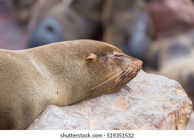 The seal colony at Cape Cross, on the atlantic coast of Namibia, Africa. Close up on seal face napping on rock.