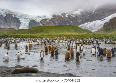 Seal and colony of king penguins,adults and chicks near lake , Antarctic mountain landscape, South Georgia