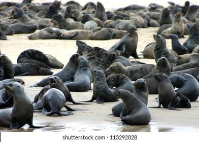 Seal Colony, Walvis Bay, Namibia