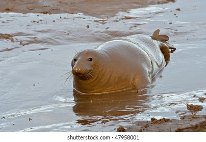 Seal covered in mud