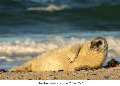 Seal cub laying on the beach