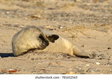 Seal cub in the sand