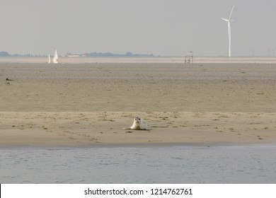 A seal enjoying the sun on a sandbank with windmills in the background in nature reserve the Oosterschelde in the Netherlands. The seal is looking into the camera